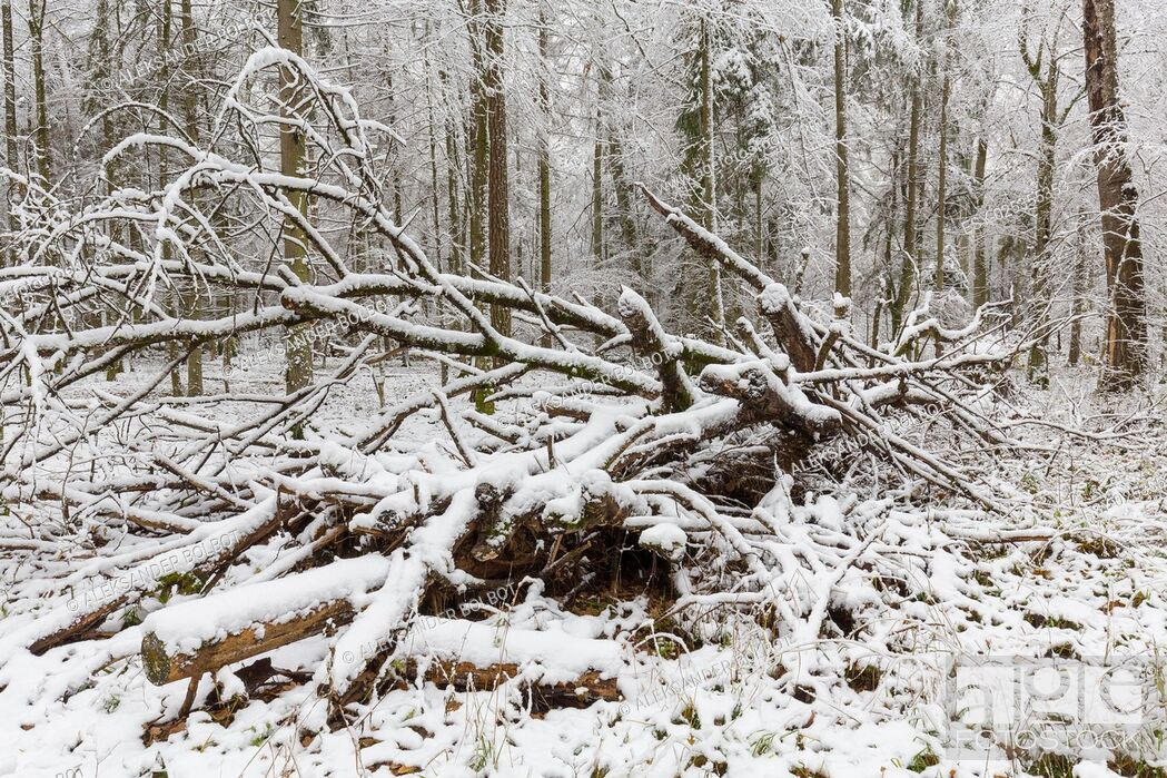 Stock Photo: Winter landscape of natural forest with dead poplar tree trunk lying, Bialowieza Forest, Poland, Europe.