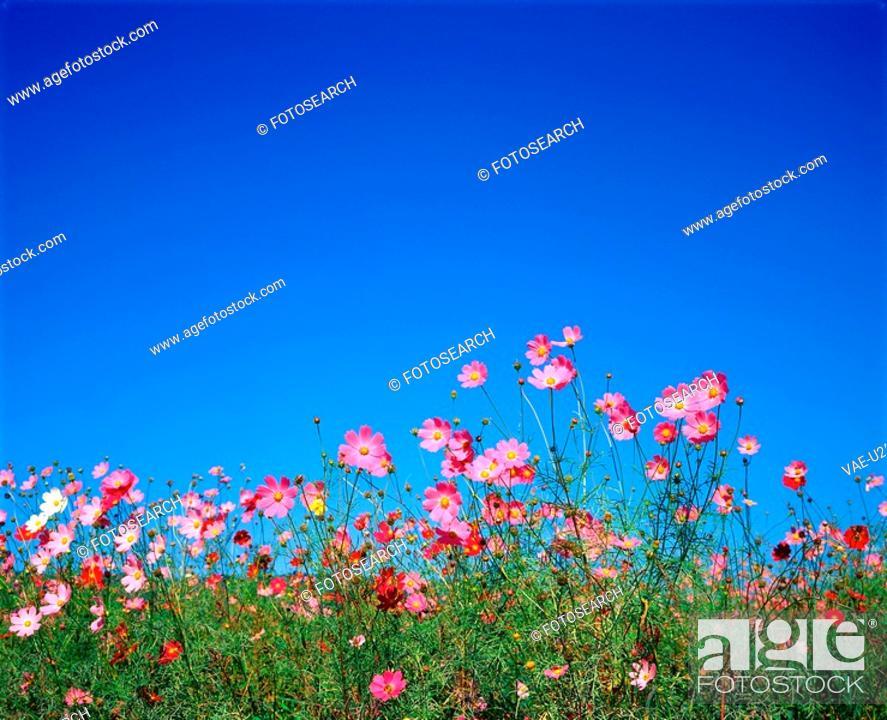 Stock Photo: autumn, plant, season, cosmos, flower, film.