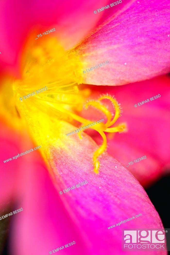 Stock Photo: Portulaca oleracea, common Purslane, also known as Verdolaga, Pigweed, Little Hogweed, or Pusley. Valencia. Spain.