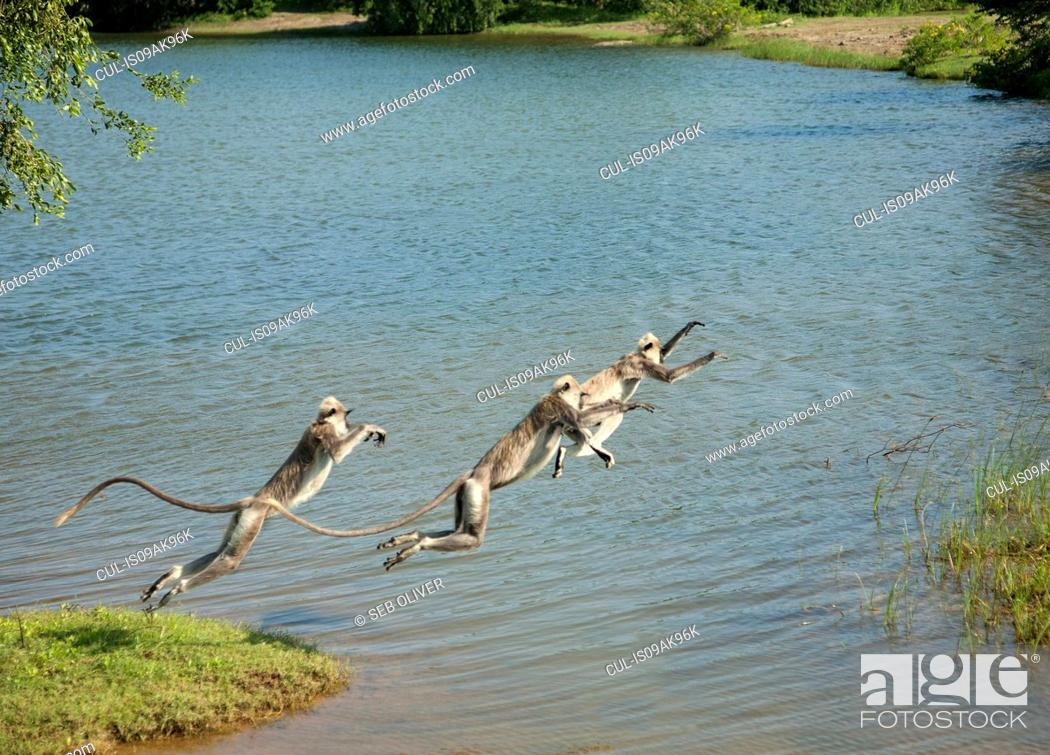 Stock Photo: Tree toque macaque (Macaca Sinica) monkeys leaping over lake, Sri Lanka.