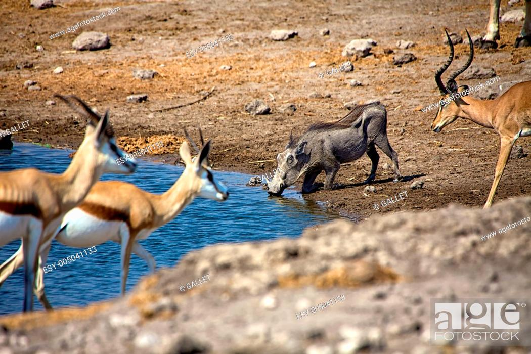 Stock Photo: a warthog drinking water in etosha national park namibia africa.