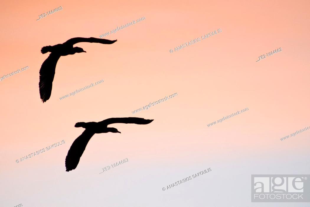 Stock Photo: Cormorants - Phalacrocorax cormoranus, Greece.