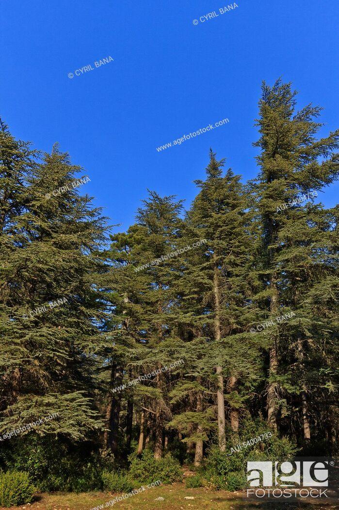 Stock Photo: France, Provence, Bonnieux, blue Cedar forest.