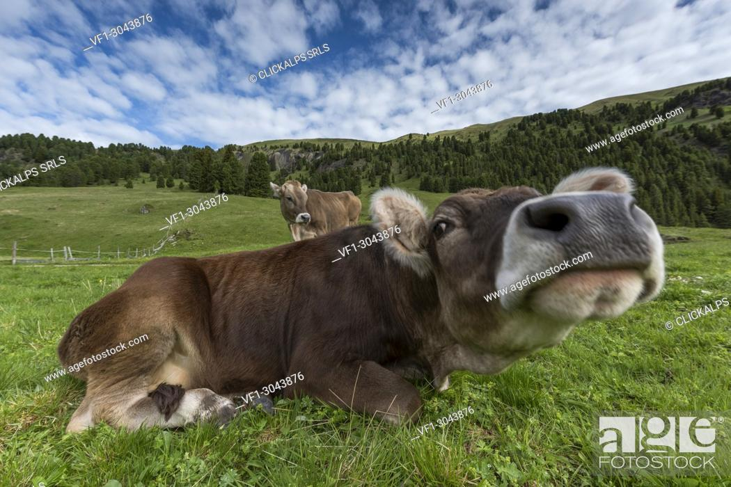 Stock Photo: Italy, Europe, Dolomites, Alps, Trentino, Fassa Valley, alpine pasture, cows, grazing cows.