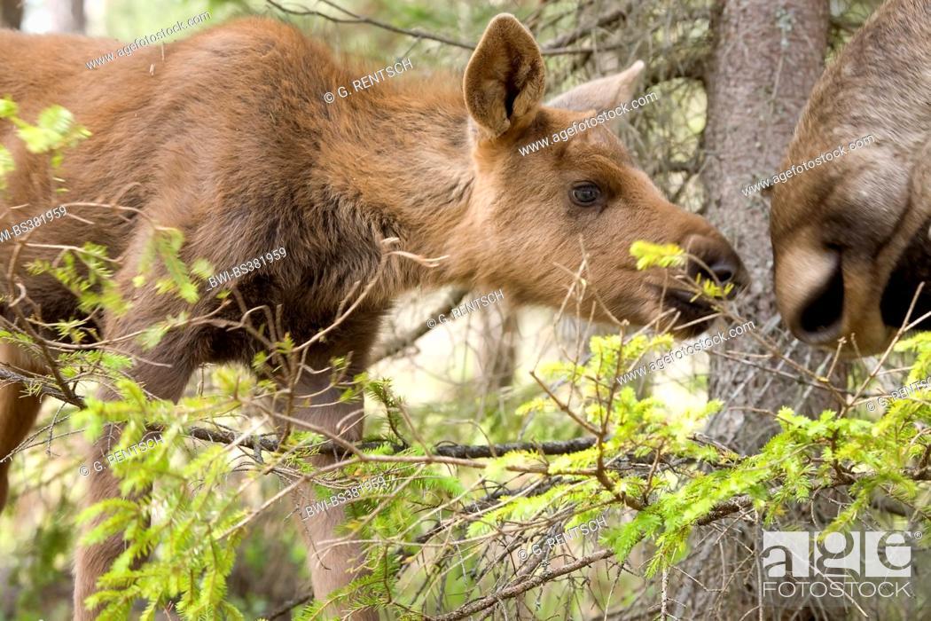 Stock Photo: elk, European moose (Alces alces alces), elk calf at the elk park Anneroed, Sweden, Bohuslaen.