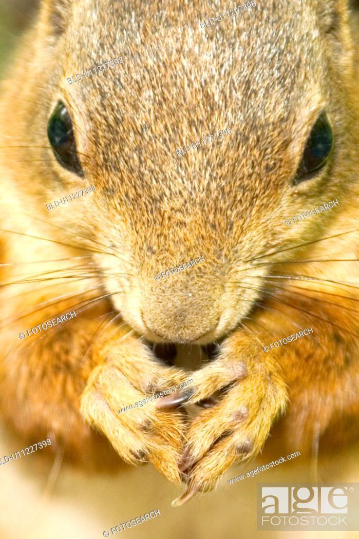 Stock Photo: hoernchen, alfred, animals, beige, brown, CLOSE.