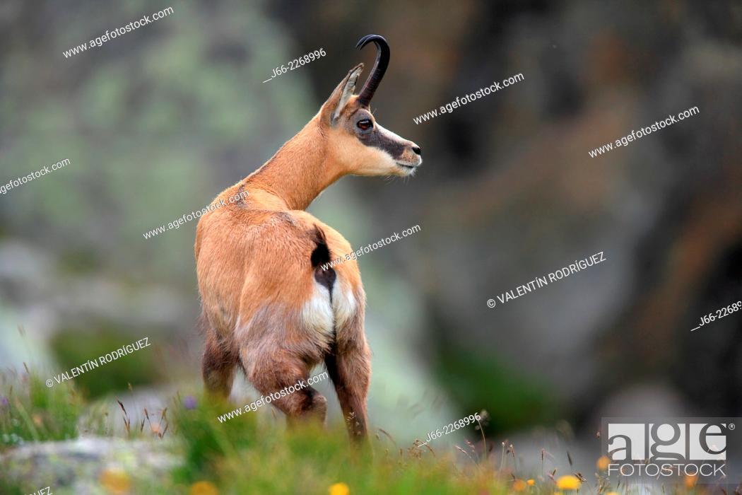 Stock Photo: chamois (Rupicapra rupicapra) in the National Park Gran Paradiso, Italy.