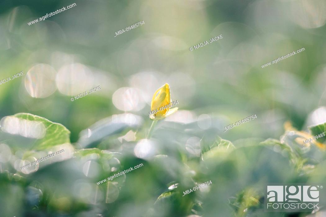 Imagen: Yellow flower bud in meadow, detail.