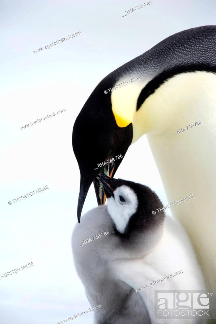 Stock Photo: Emperor penguin Aptenodytes forsteri and chick, Snow Hill Island, Weddell Sea, Antarctica, Polar Regions.