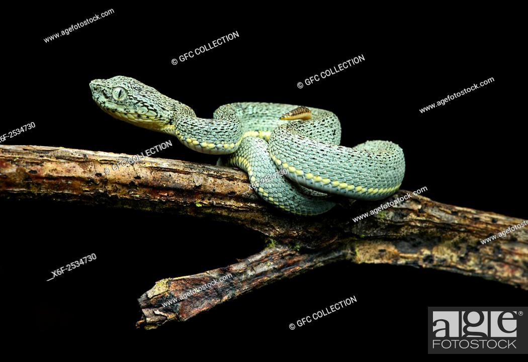 Stock Photo: Juvenile of venomous Two-striped Forest Pitviper (Bothriopsis bilineata), Viper family (Viperidae), Amazon rainforest, Yasuni National Park, Ecuador.