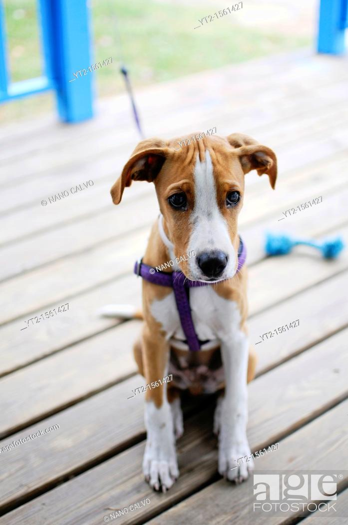 Stock Photo: Cute 4 months old dog tied in the door of a beach house.