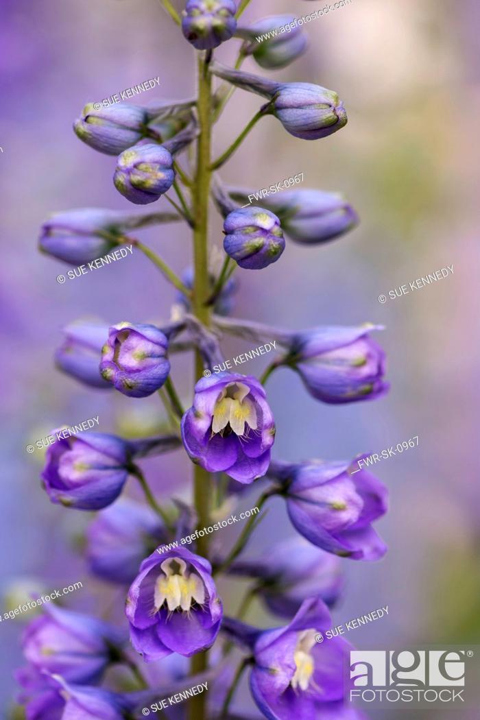 Imagen: Delphinium, Delphinium elatum, Purple coloured flowers growing outdoor.