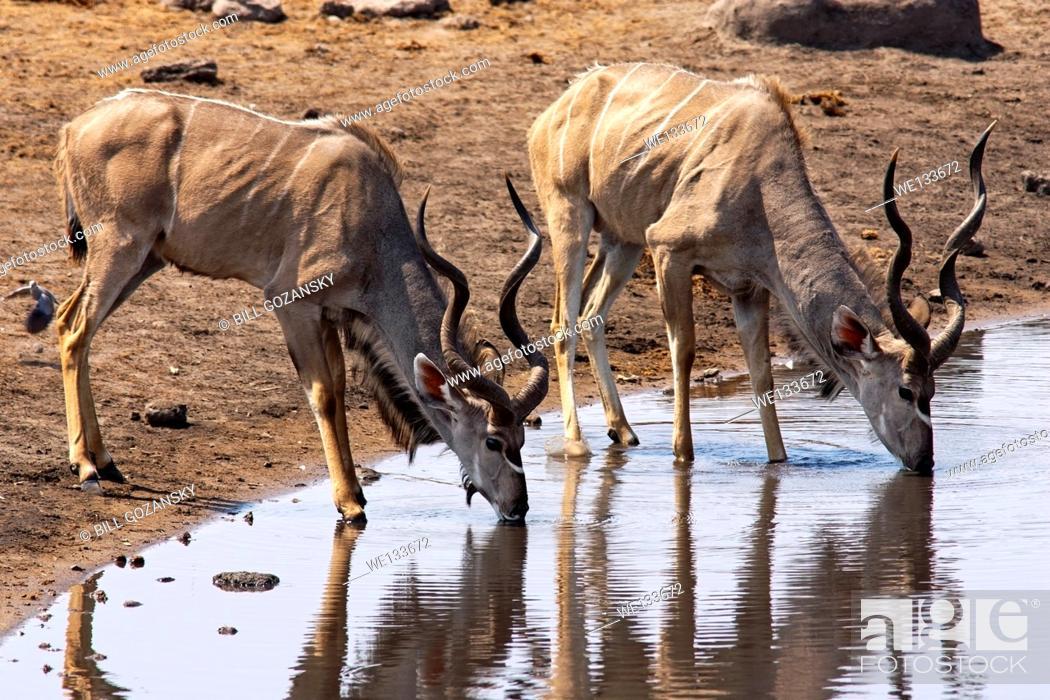 Stock Photo: Greater Kudu (Tragelaphus strepsiceros) drinking at Chudob Waterhole in Etosha National Park - Namibia, Africa.