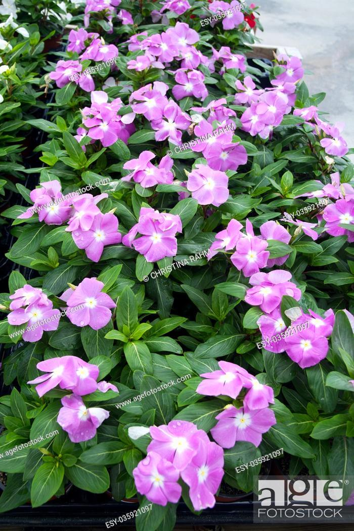 Stock Photo: Purple impatiens or jewelweed flowers in plant nursery.