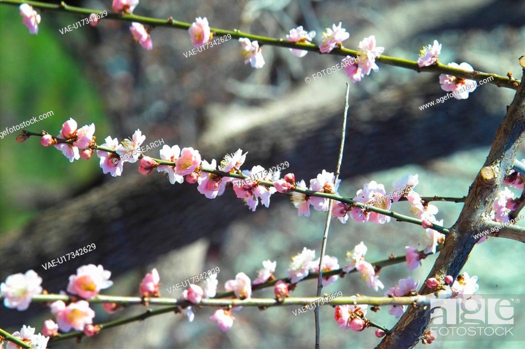 Stock Photo: blooming, spring, ume flower, natural world, nature, white, plant.