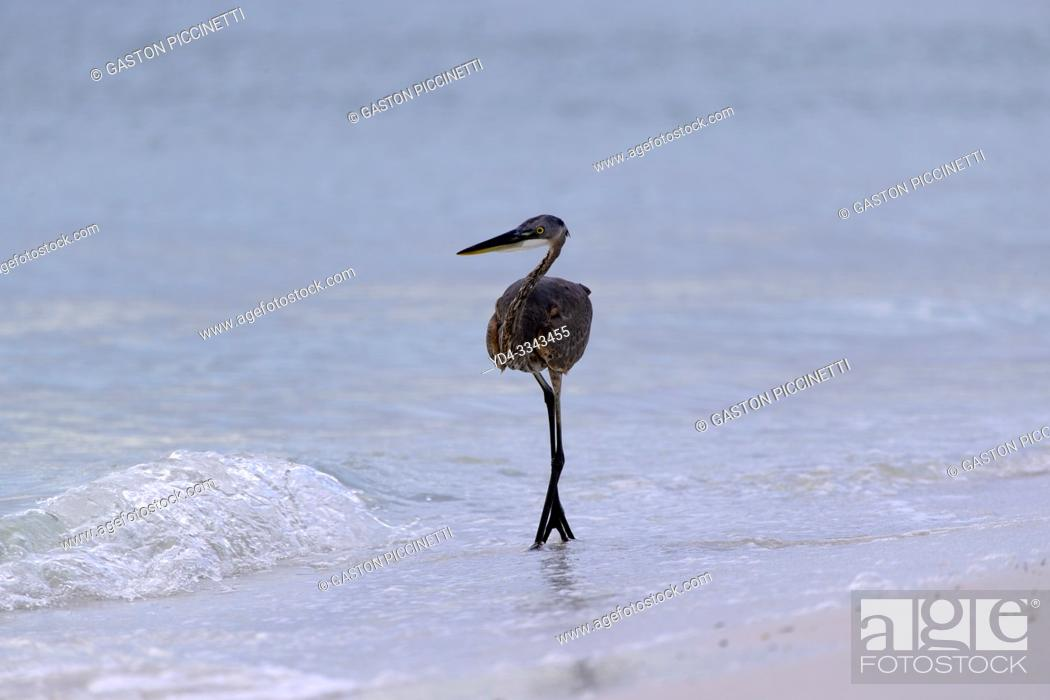 Stock Photo: Little blue heron (Egretta caerulea), Siesta Key, Sarasota, Florida, USA. .
