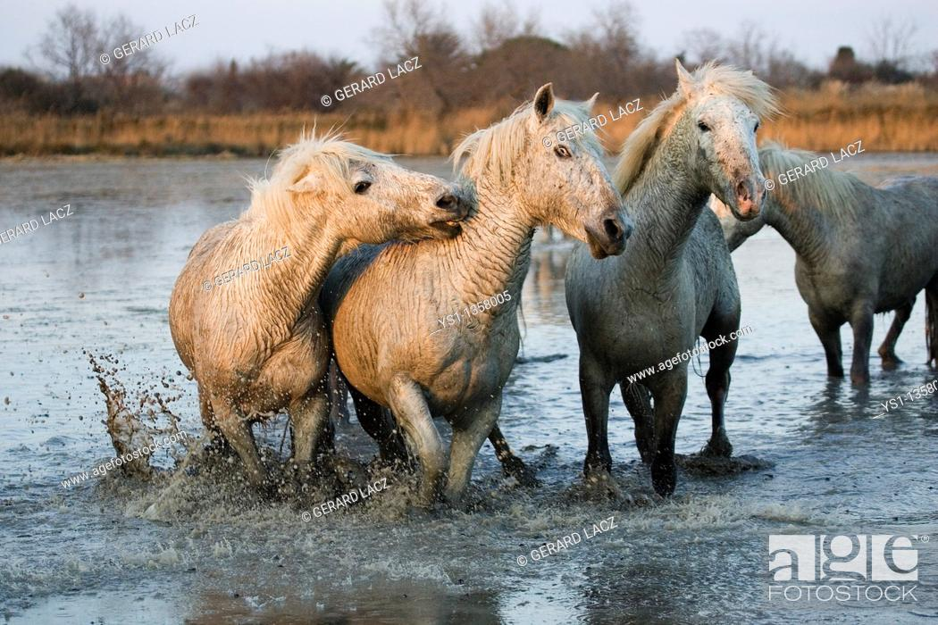 Stock Photo: CAMARGUE HORSE, HERD STANDING IN SWAMP, SAINTES MARIE DE LA MER IN THE SOUTH OF FRANCE.