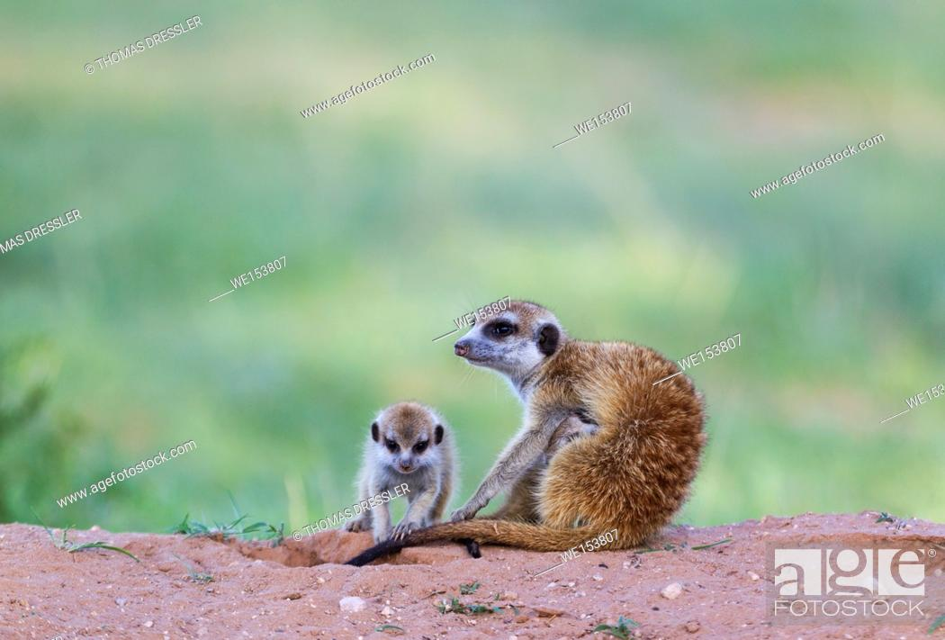 Stock Photo: Suricate (Suricata suricatta). Also called Meerkat. Female with two young in the evening at their burrow. One young is suckling.