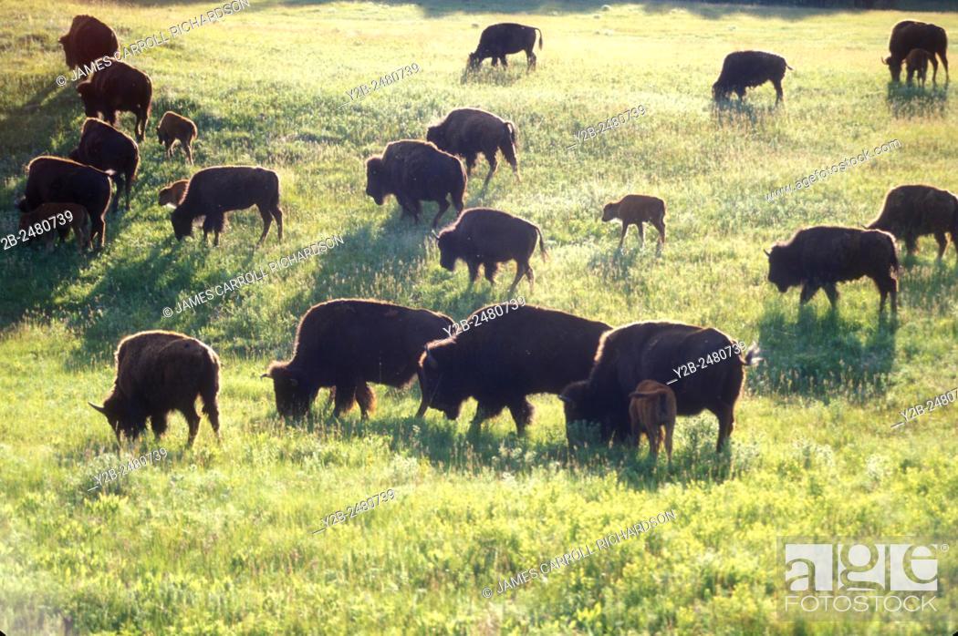 Stock Photo: Bison herd in Wind Cave National Park in South Dakota.