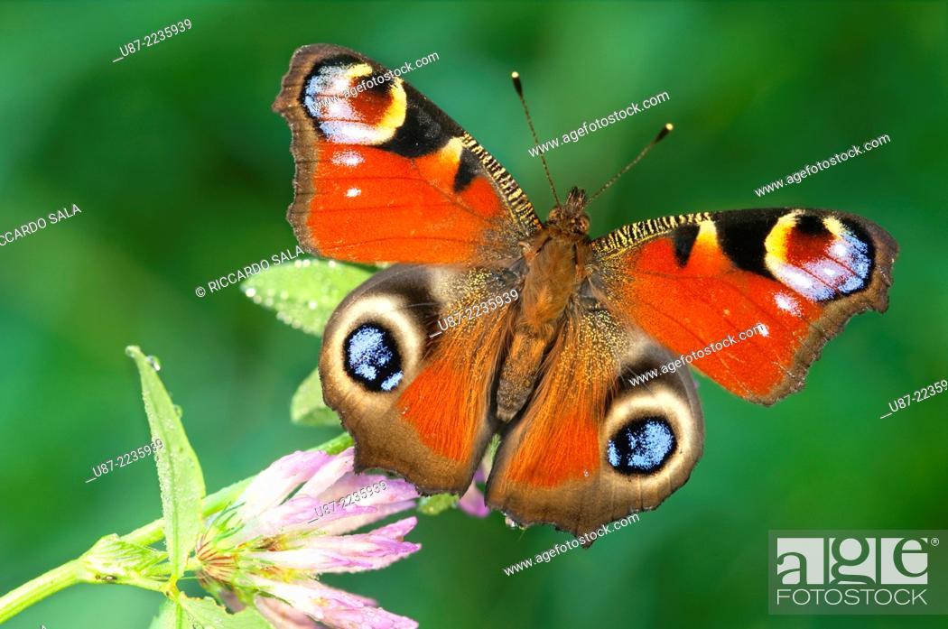 Stock Photo: Italy, Lombardy, Butterfly, Inachis io, Close up.