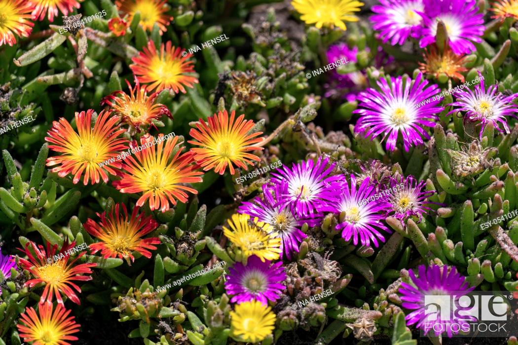 Stock Photo: Orange and purple blooming ice plants (Delosperma cooperi) in a sunny summer flower bed.