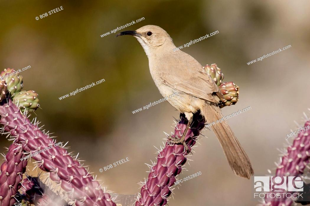 Stock Photo: Le Conte's Thrasher (Toxostoma lecontei), Kern County, California.