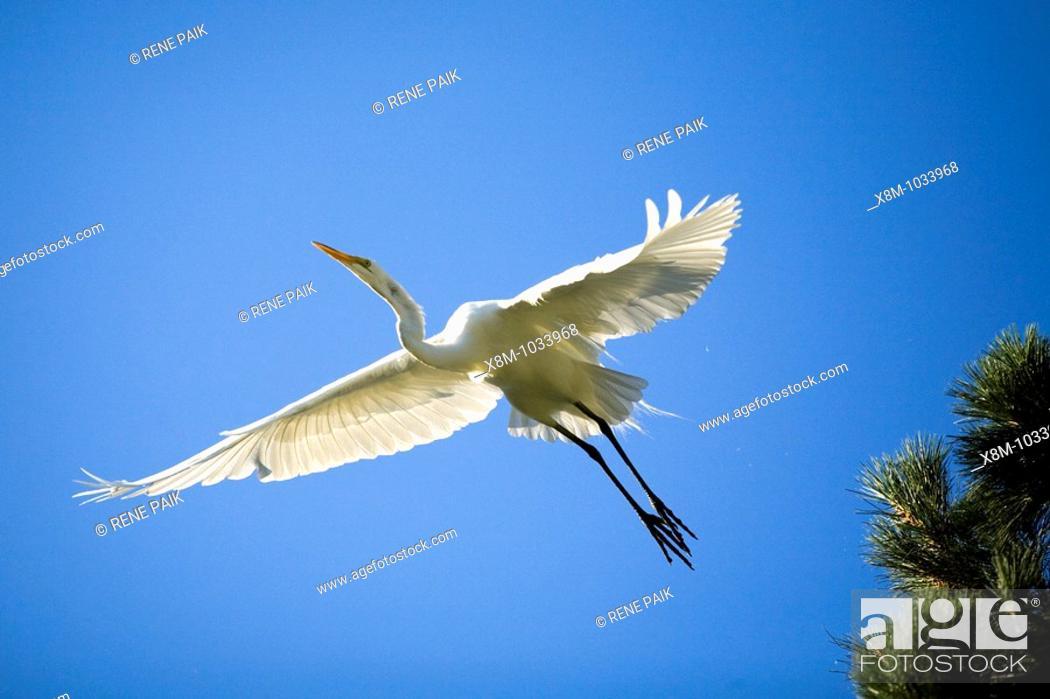 Stock Photo: Great egret (Ardea alba, fam. Ardeidae) in flight. The artificial estuaries and lagoons in the suburbs of San Francisco (California.