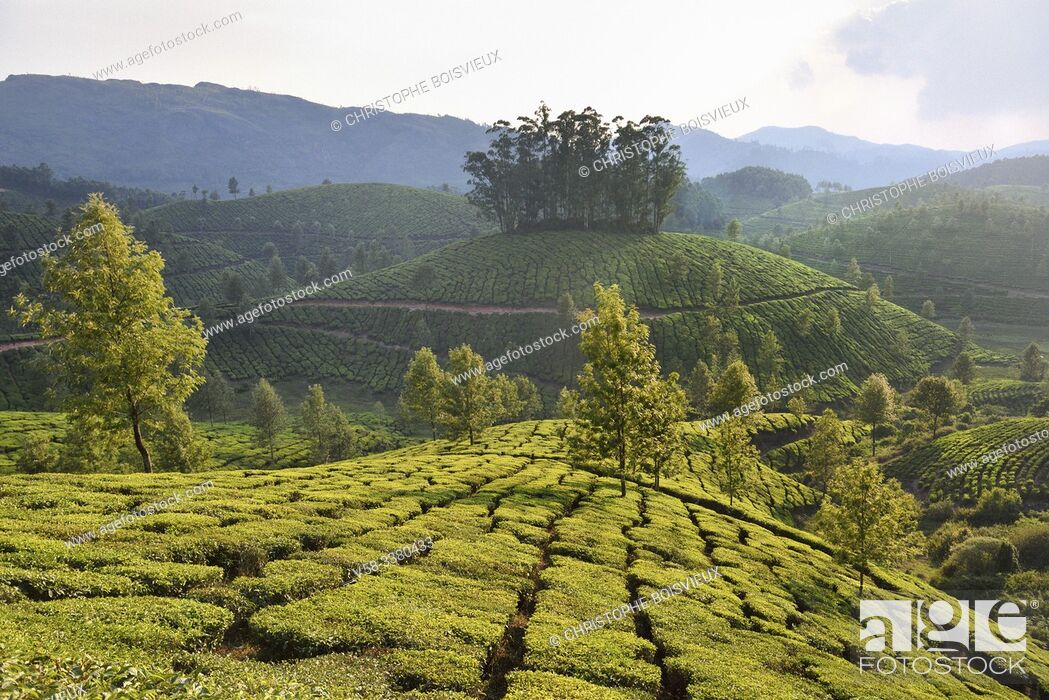 Stock Photo: India, Kerala, Munnar, Tea plantations.