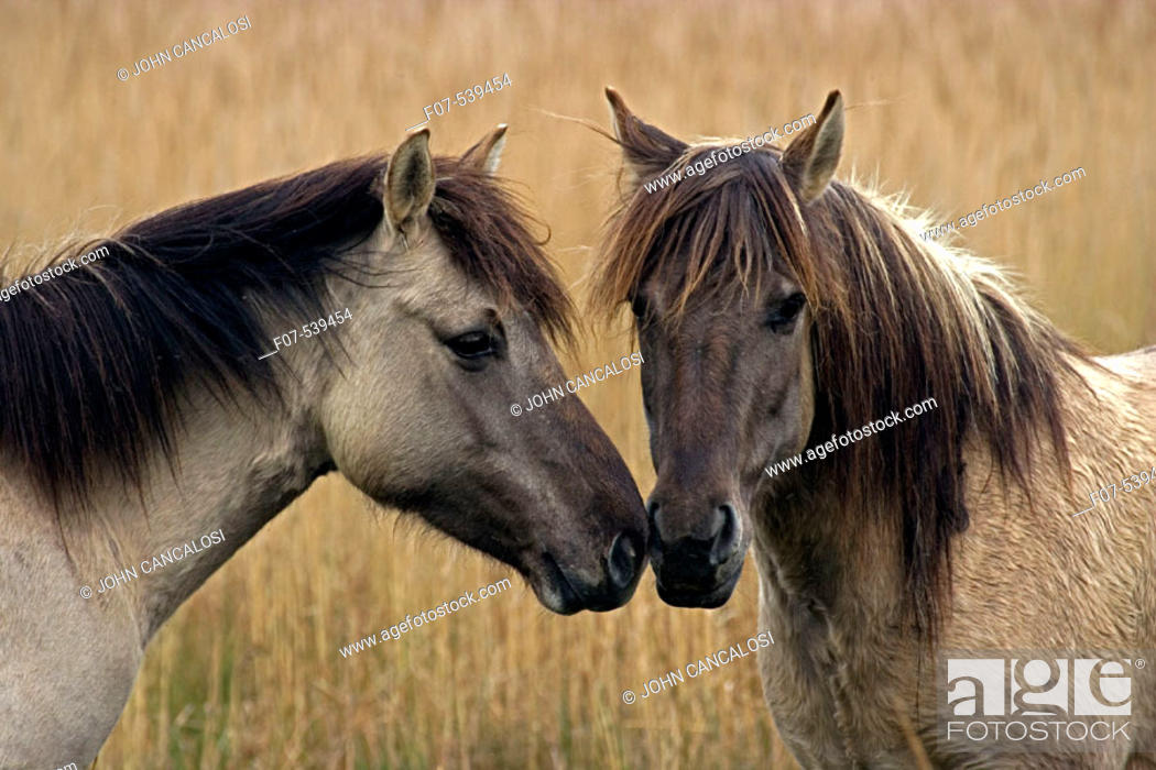 Stock Photo: Konik Ponies-Norfolk Broads National Park-Norfolk-England- Breed originated in ancient lowland farm areas in Poland- Konik means small horse in Polish-Direct.
