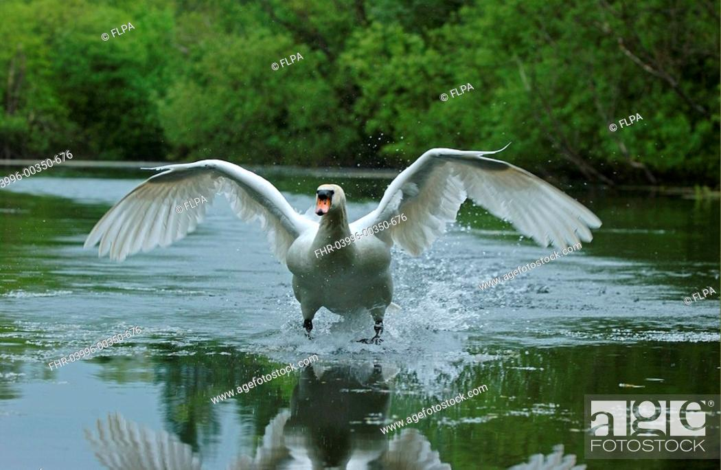 Stock Photo: Mute Swan Cygnus olor adult landing on water, Oxfordshire, England.