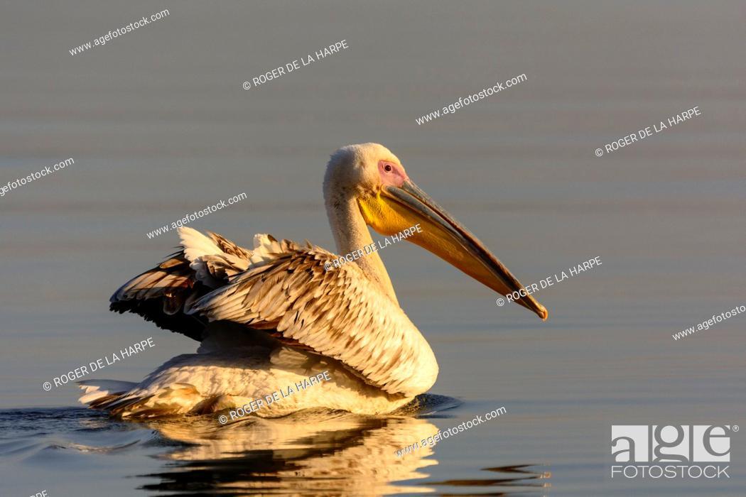 Imagen: Great white pelican or eastern white pelican or rosy pelican or white pelican (Pelecanus onocrotalus). Lake Naivasha. Naivasha. Great Rift Valley.