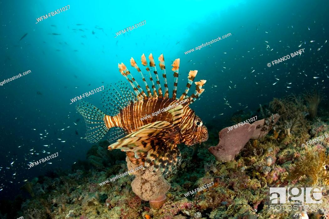 Stock Photo: common lionfish, Pterois volitans, Raja Ampat, Irian Jaya, West Papua, Pacific Ocean, Indonesia.