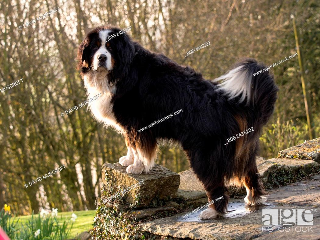 Stock Photo: Bernese Mountain Dog portrait, UK.