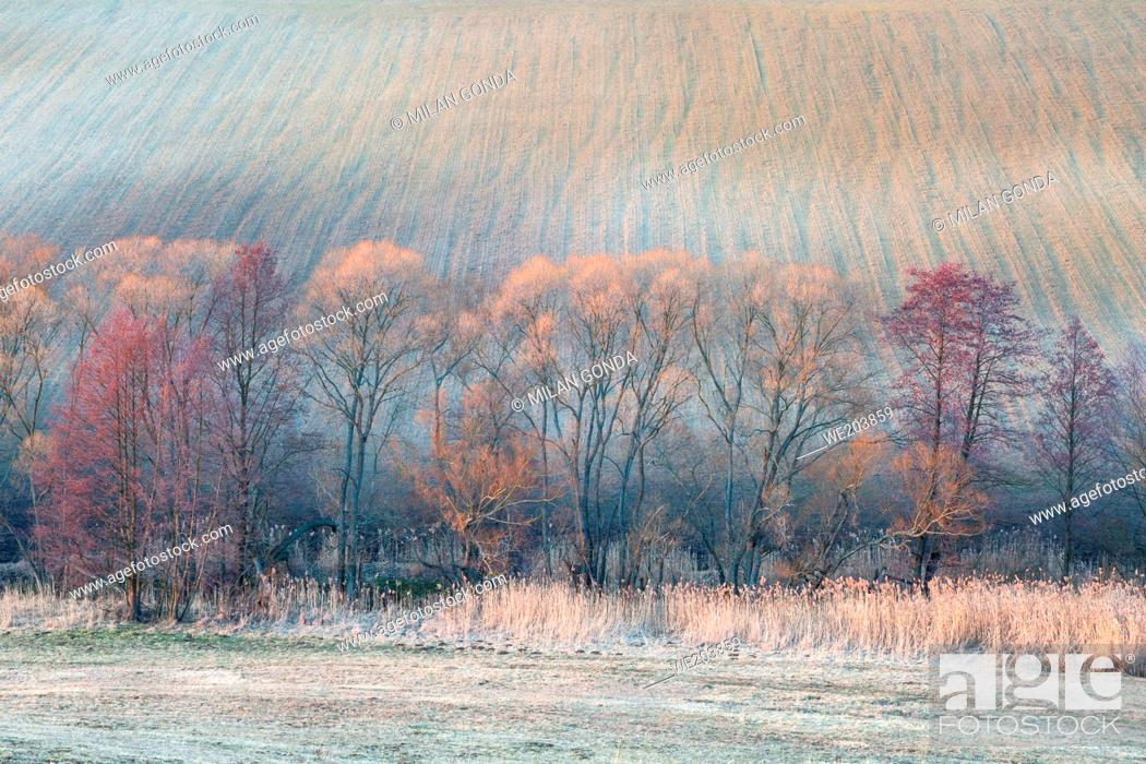 Stock Photo: Willows and blooming alders in the fields of Turiec region, Slovakia.
