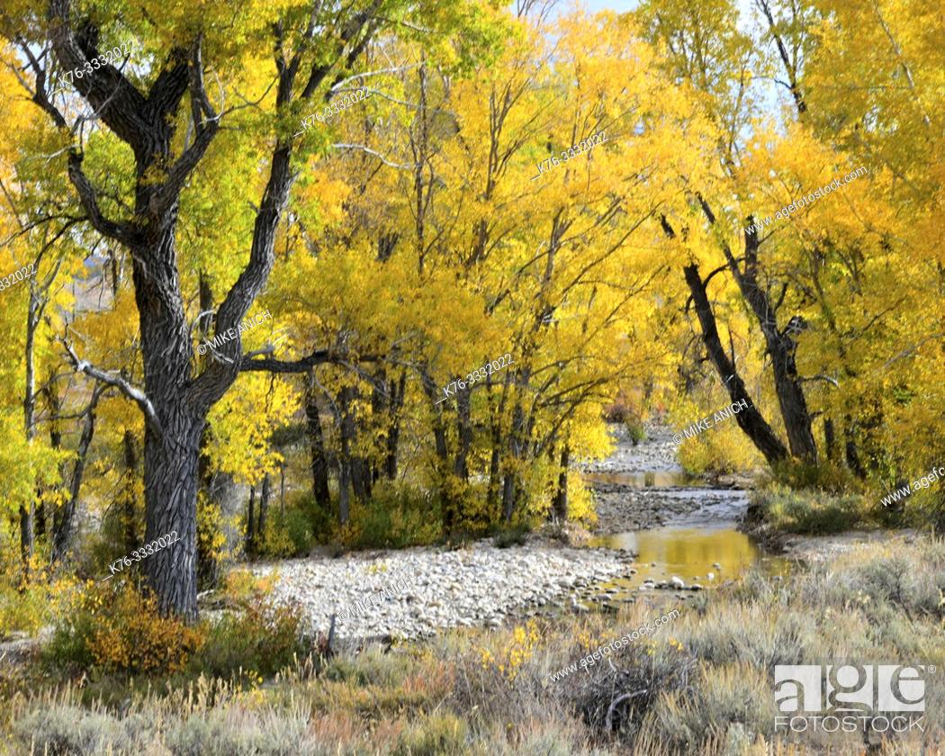 Stock Photo: Autumn, Cottonwood Trees, Grand Teton National Forest, Wyoming.