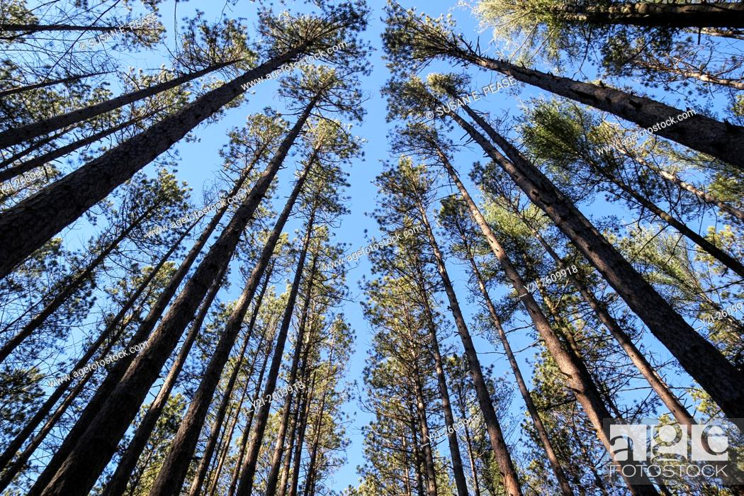 Stock Photo: The regularly-spaced trees of the Red Pine Plantation, established in the 1930s, Mohawk Trail State Forest, Massachusetts, United States, North America.