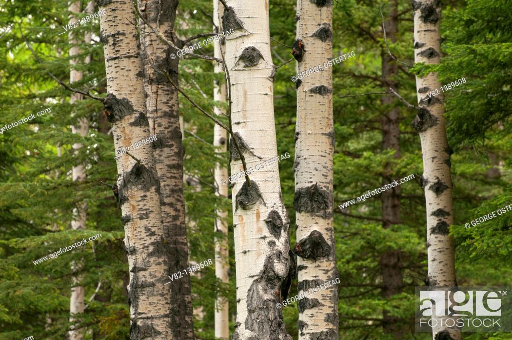 Stock Photo: Aspen, Banff National Park, Alberta, Canada.
