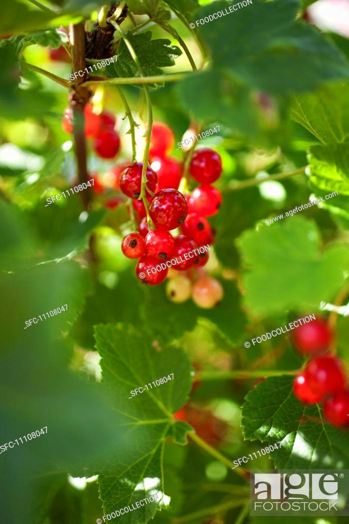 Stock Photo: Redcurrants on a bush.