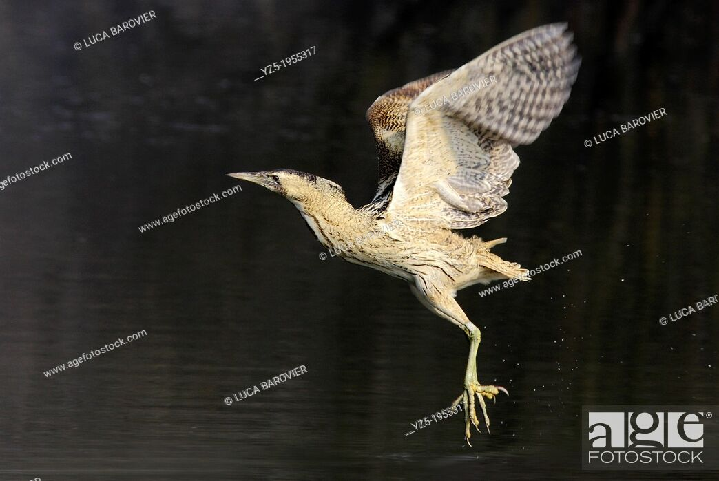 Stock Photo: Bittern - Botaurus stellaris - Flying bittern, Parco delle cave, Milano Italy.