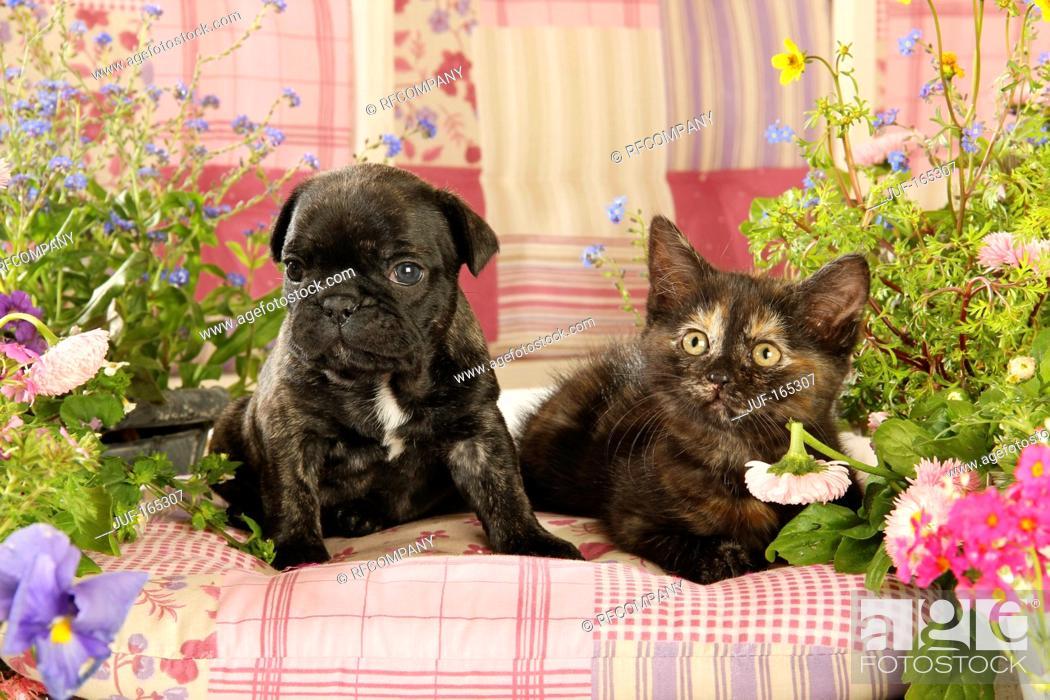 Imagen: animal friendship : French Bulldog puppy and kitten.