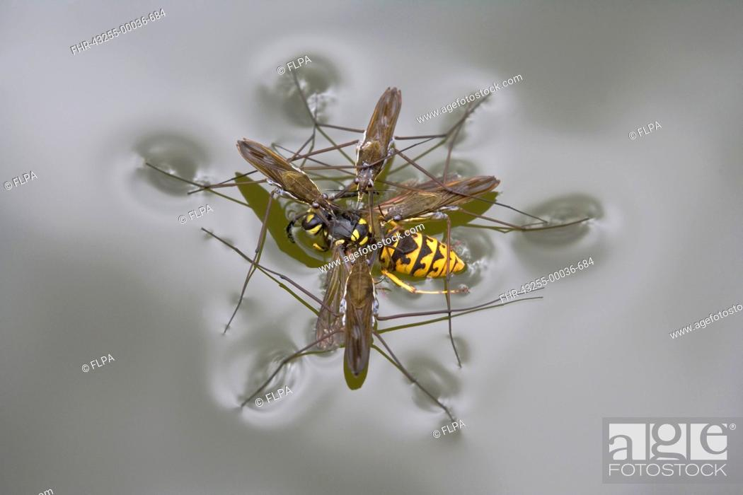 Stock Photo: Common Pond Skater Gerris lacustris four adults, feeding on Common Wasp Vespula vulgaris drowned on surface of garden pond, Bentley, Suffolk, England, july.