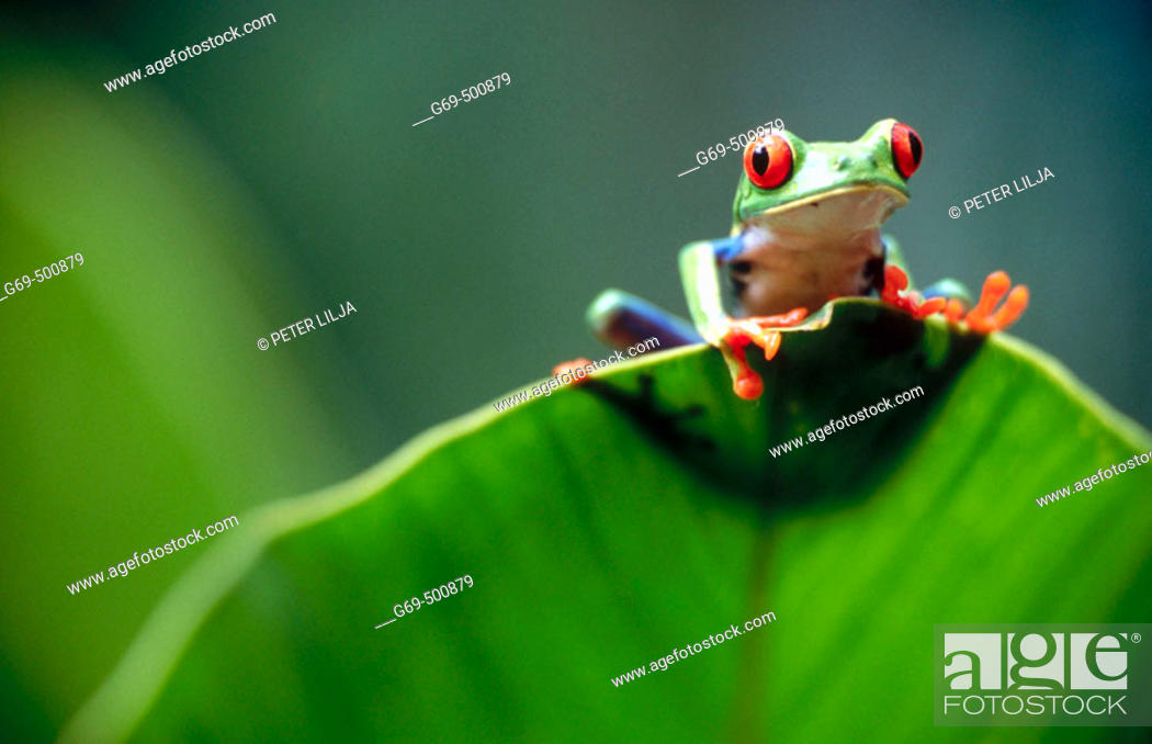 Stock Photo: Red-eyed tree frog (Agalychnis callidryas) behind a leaf. Selva Verde. Costa Rica.
