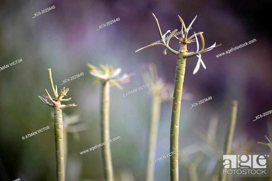 Stock Photo: Senecio kleinia plant canarian endemism.