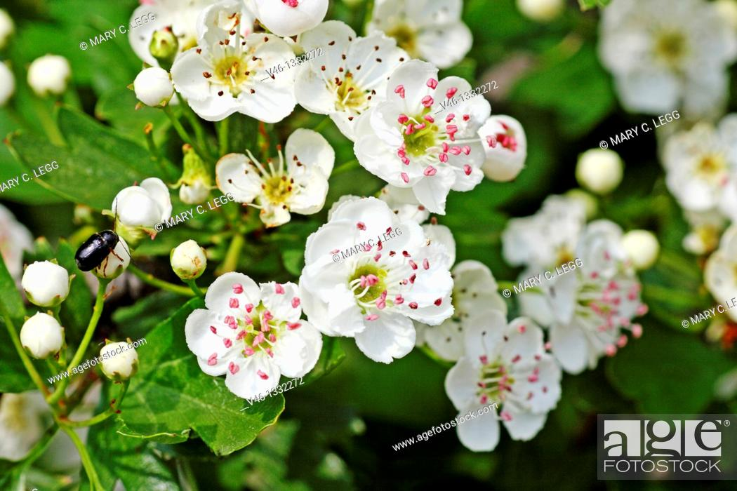 Stock Photo: Oneseed Hawthorn, Crataegus monogyn blossoms crowd together  Blossoms of the hawthorn can be used for making wine and honey  Berries of the hawthorn are rich in.