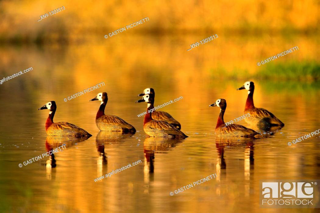 Stock Photo: White-faced Whistling Duck (Dendrocygna viduata), Okawango Delta, Botswana.