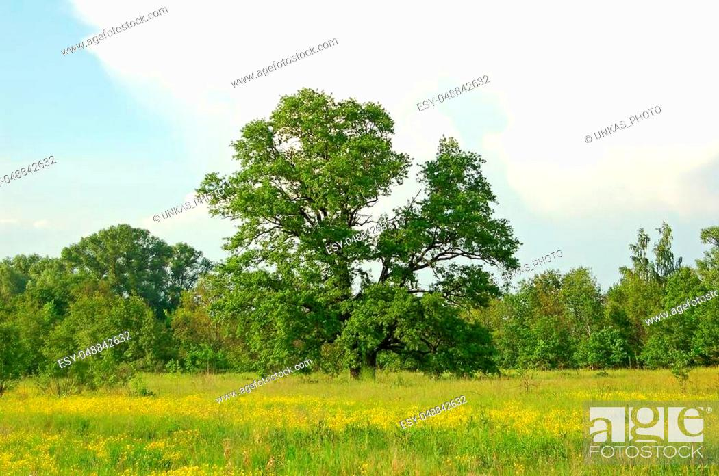 Stock Photo: Spring oak tree in green meadow and blue sky.