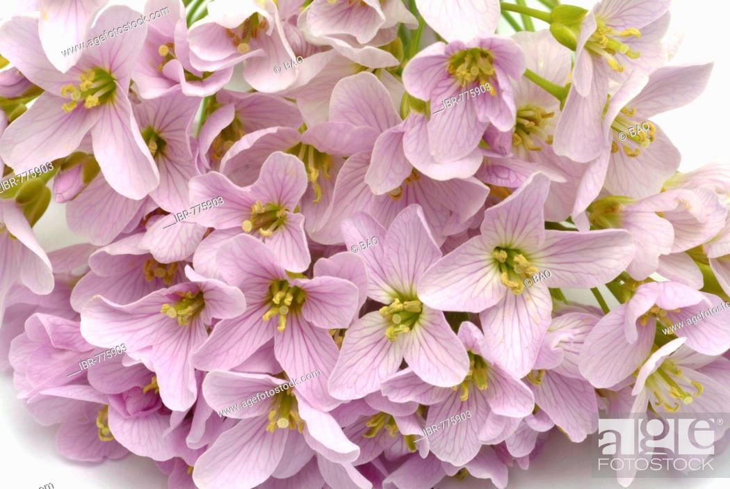 Stock Photo: Lady's Smock (Cardamine pratense), medicinal plant.