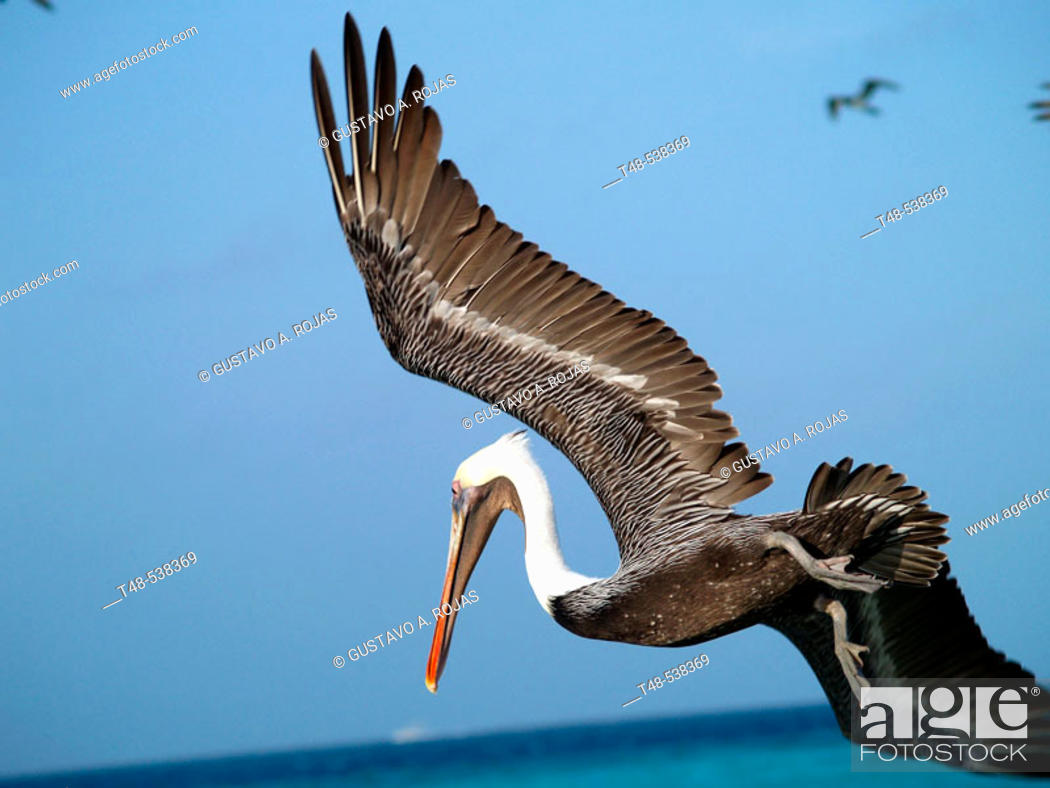 Stock Photo: pelecanus occidentalis flying. Los Roques, Venezuela.