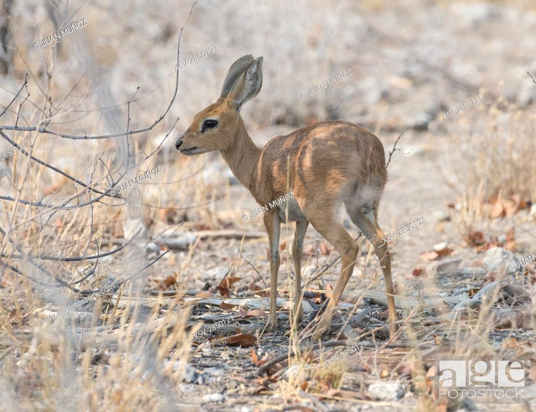 Stock Photo: STEENBOK (Raphicerus campestris). Etosha National Park. Namibia.Africa.