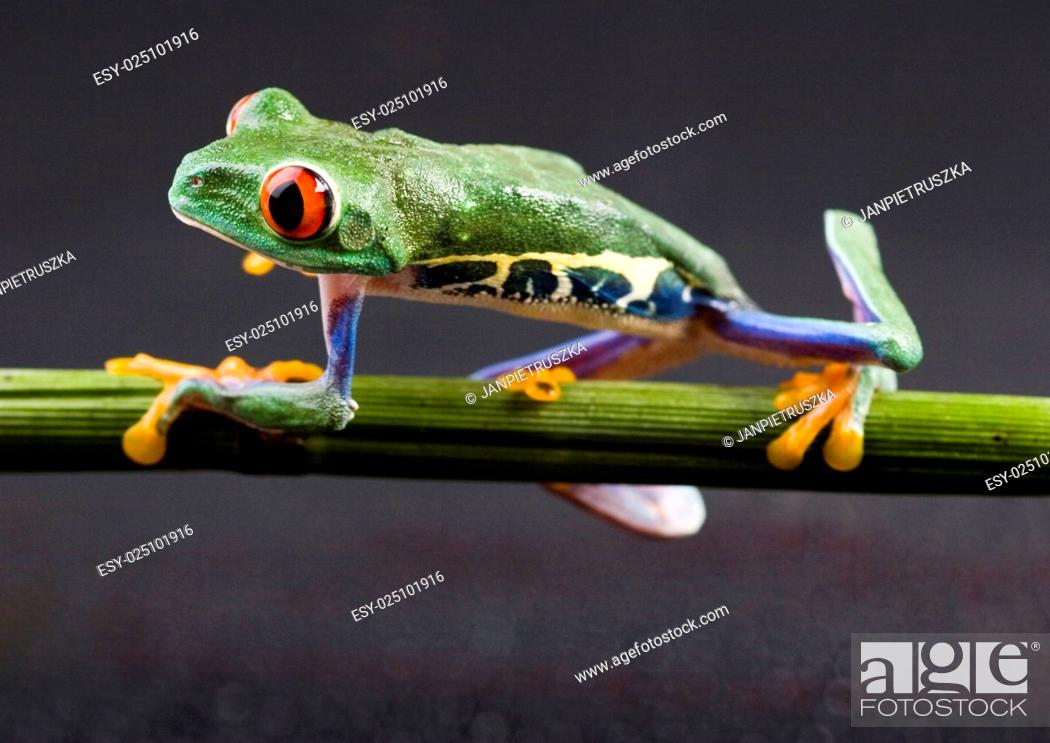 Stock Photo: Red eyed frog green tree on colorful background.